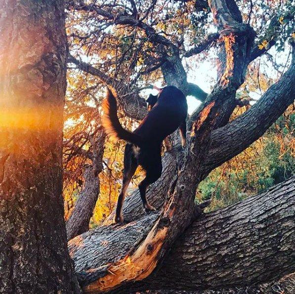 dog-climbing-tree