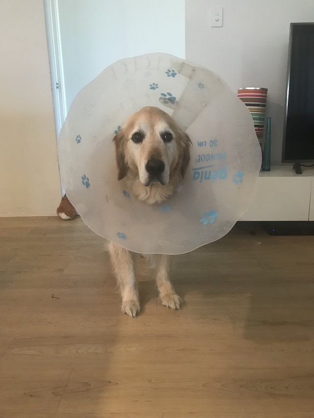 golden-retriever-wearing-cone-of-shame