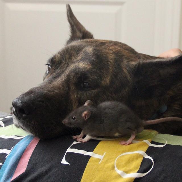 rat-dog-1