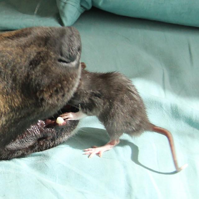 rat-dog-7