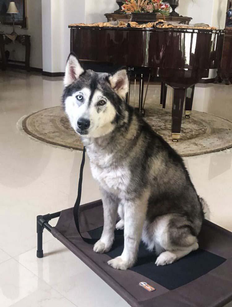 rescued-dog-siberian-husky-luna-vinegret-2