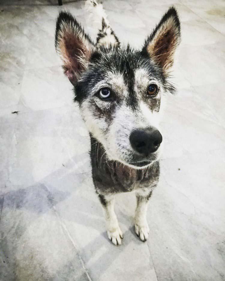 rescued-dog-siberian-husky-luna-vinegret-3