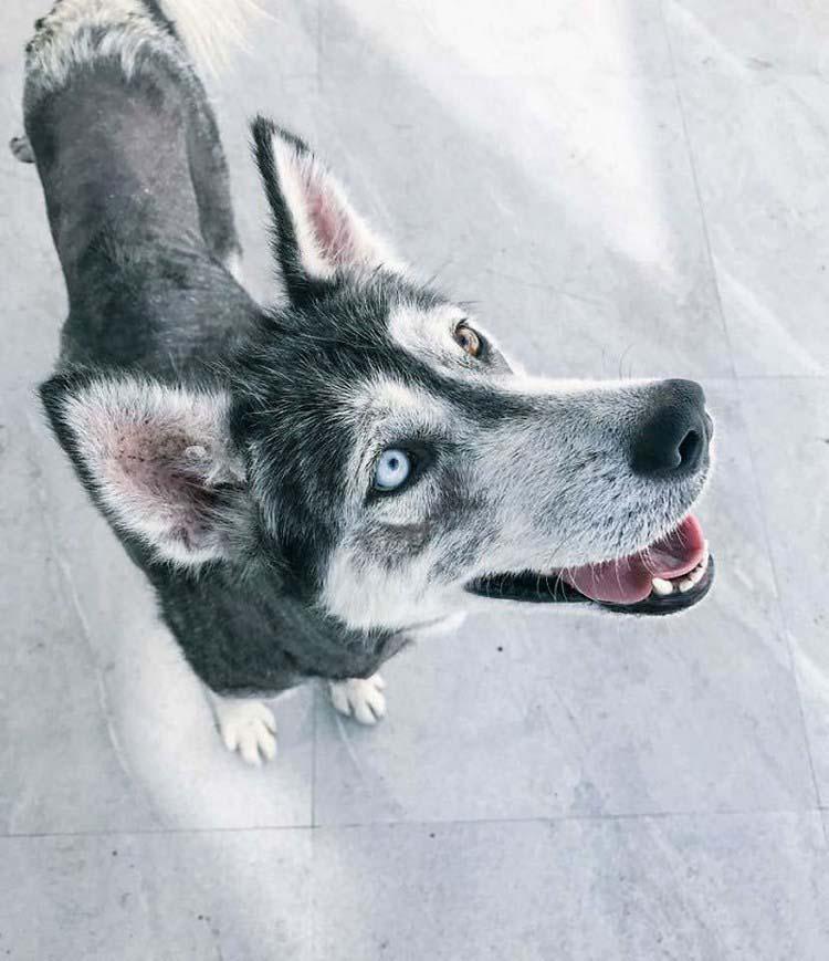 rescued-dog-siberian-husky-luna-vinegret-5