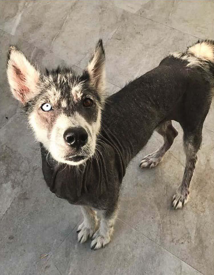 rescued-dog-siberian-husky-luna-vinegret-6