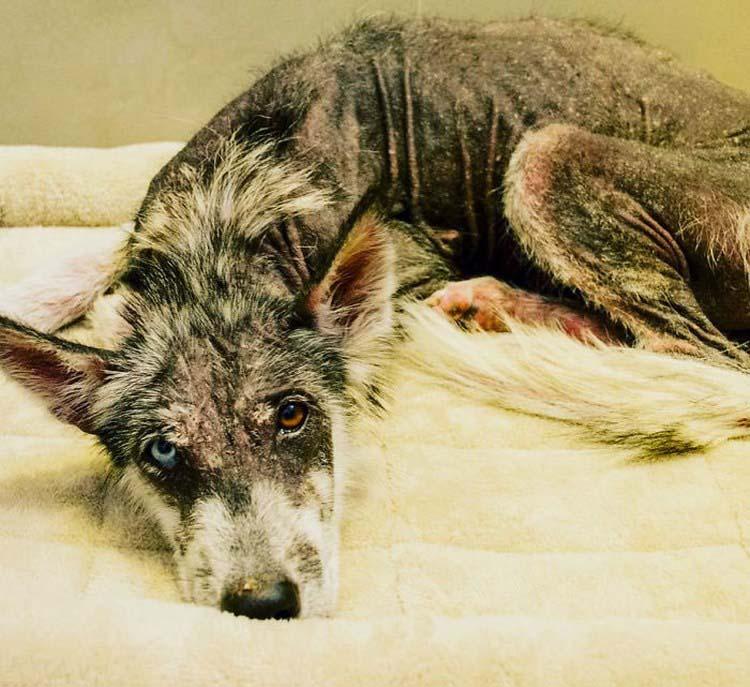 rescued-dog-siberian-husky-luna-vinegret-7