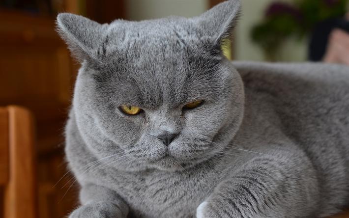 thumb2-4k-british-shorthair-funny-cat-muzzle-gray-cat.png