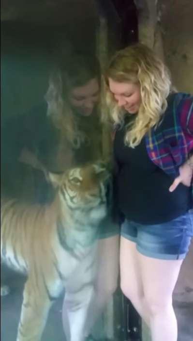 """""""Я знаю, у тебя там малыш!"""" Тигр из зоопарка прижался к животу беременной женщины... рис 6"""