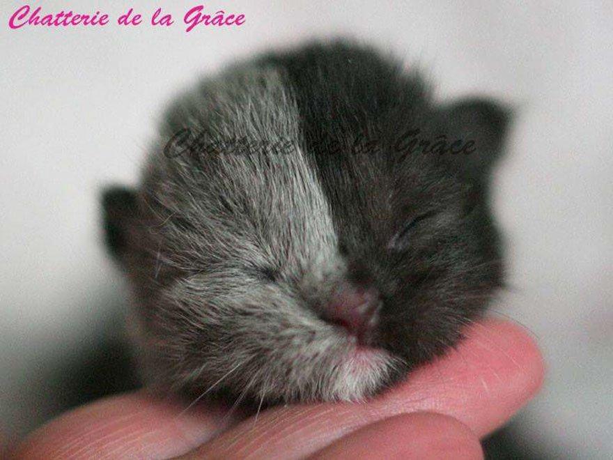 """""""Двуликий"""" кот Нарния: невероятно редкое сочетание серого и чёрного! Эта мордочка навсегда врезается в память... рис 2"""