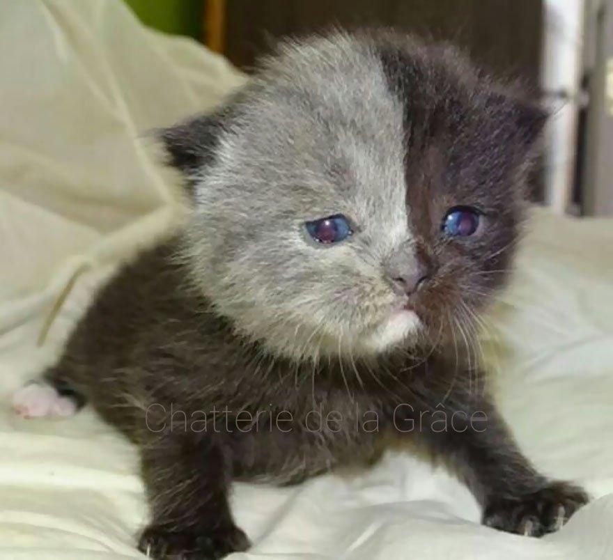 """""""Двуликий"""" кот Нарния: невероятно редкое сочетание серого и чёрного! Эта мордочка навсегда врезается в память... рис 3"""