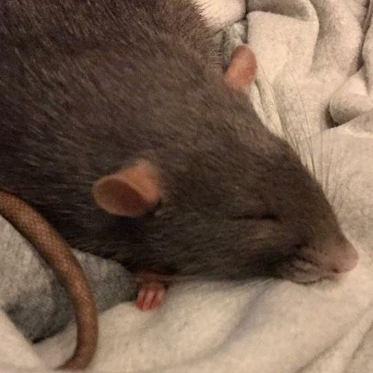 20 причин, почему вы захотите завести в доме декоративную крысу! Это же маленькие комочки счастья :) рис 11