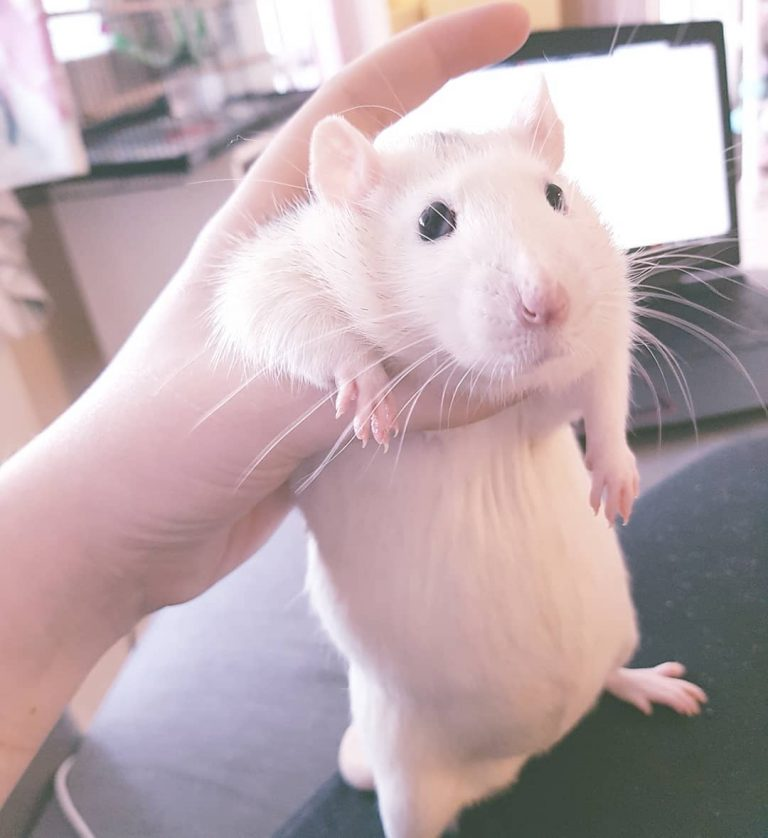 20 причин, почему вы захотите завести в доме декоративную крысу! Это же маленькие комочки счастья :) рис 10