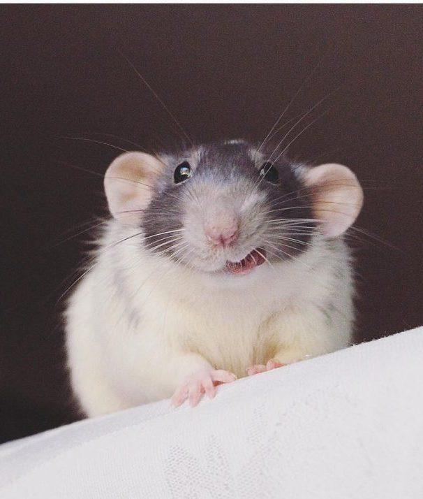 20 причин, почему вы захотите завести в доме декоративную крысу! Это же маленькие комочки счастья :) рис 12