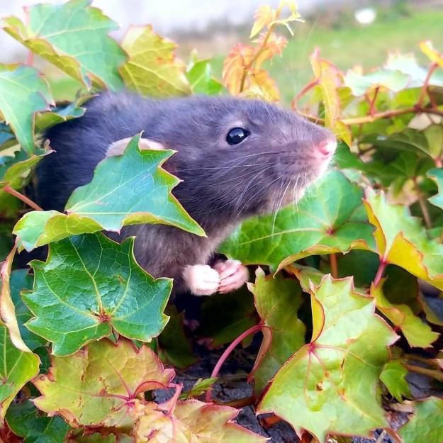 20 причин, почему вы захотите завести в доме декоративную крысу! Это же маленькие комочки счастья :) рис 13
