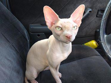 Сфинкс Арчи: от сморщенного котёнка к гордому красавцу!