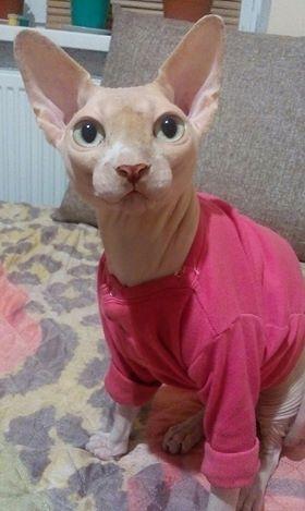 Сфинкс Арчи: от сморщенного котёнка к гордому красавцу! рис 3