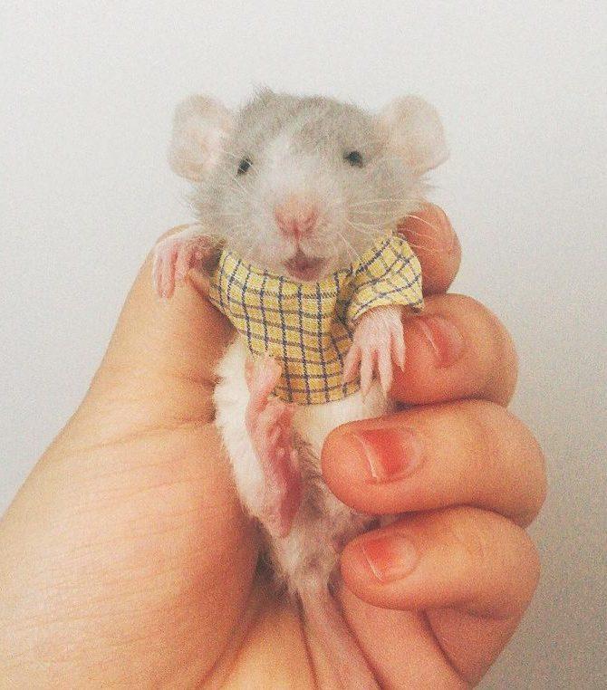 20 причин, почему вы захотите завести в доме декоративную крысу! Это же маленькие комочки счастья :) рис 15