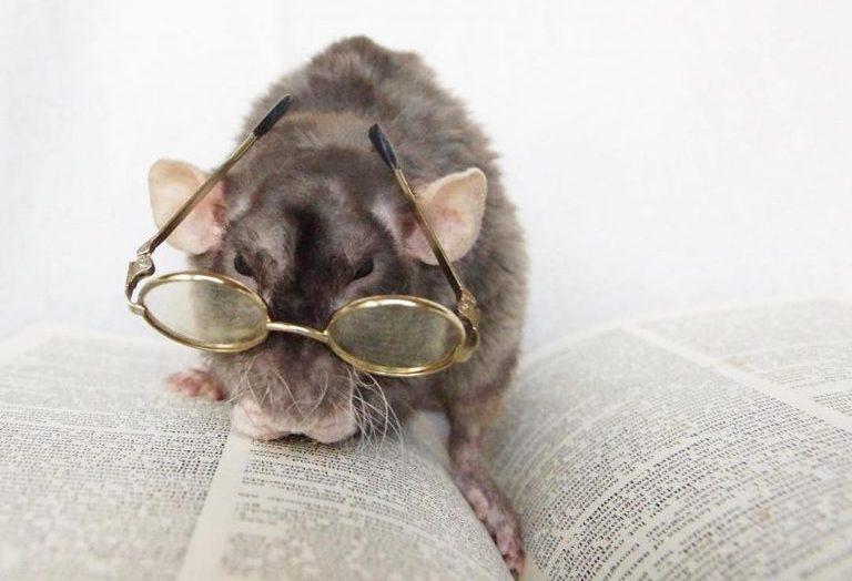 20 причин, почему вы захотите завести в доме декоративную крысу! Это же маленькие комочки счастья :) рис 16
