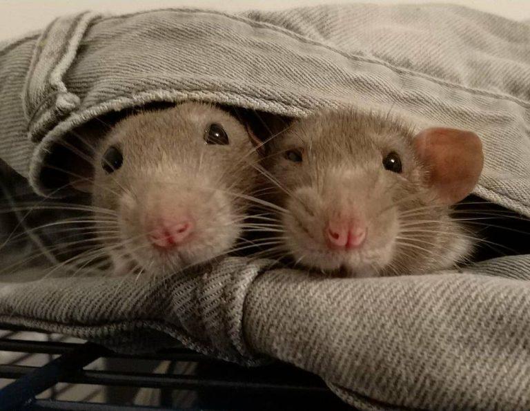 20 причин, почему вы захотите завести в доме декоративную крысу! Это же маленькие комочки счастья :) рис 17