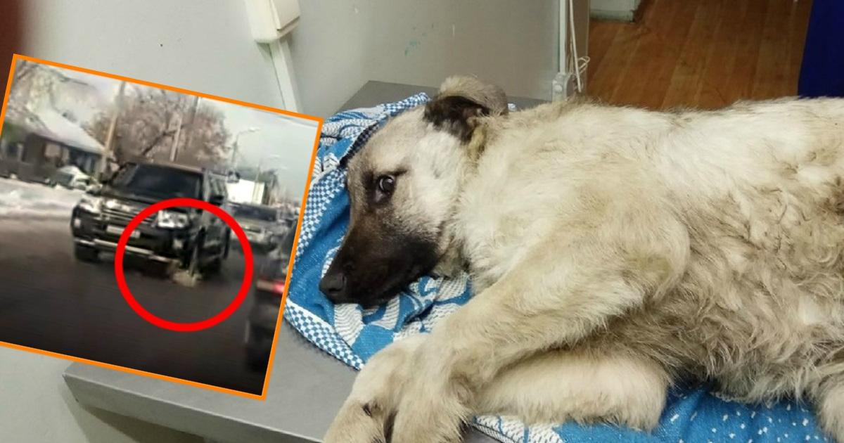 Скрылся, но потом одумался! Сбитую внедорожником собаку отправили на лечение, а позже на связь вышел тот самый водитель!