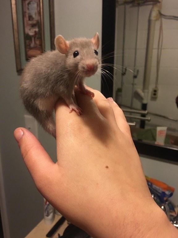 20 причин, почему вы захотите завести в доме декоративную крысу! Это же маленькие комочки счастья :) рис 5