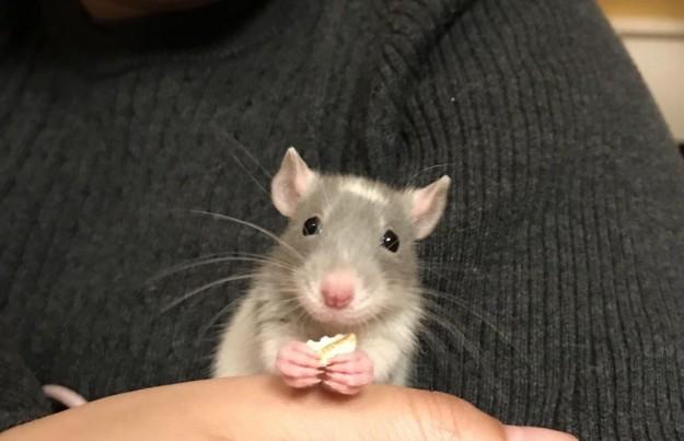 20 причин, почему вы захотите завести в доме декоративную крысу! Это же маленькие комочки счастья :) рис 7
