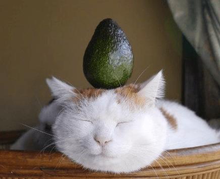 cat-eating-avocado.png