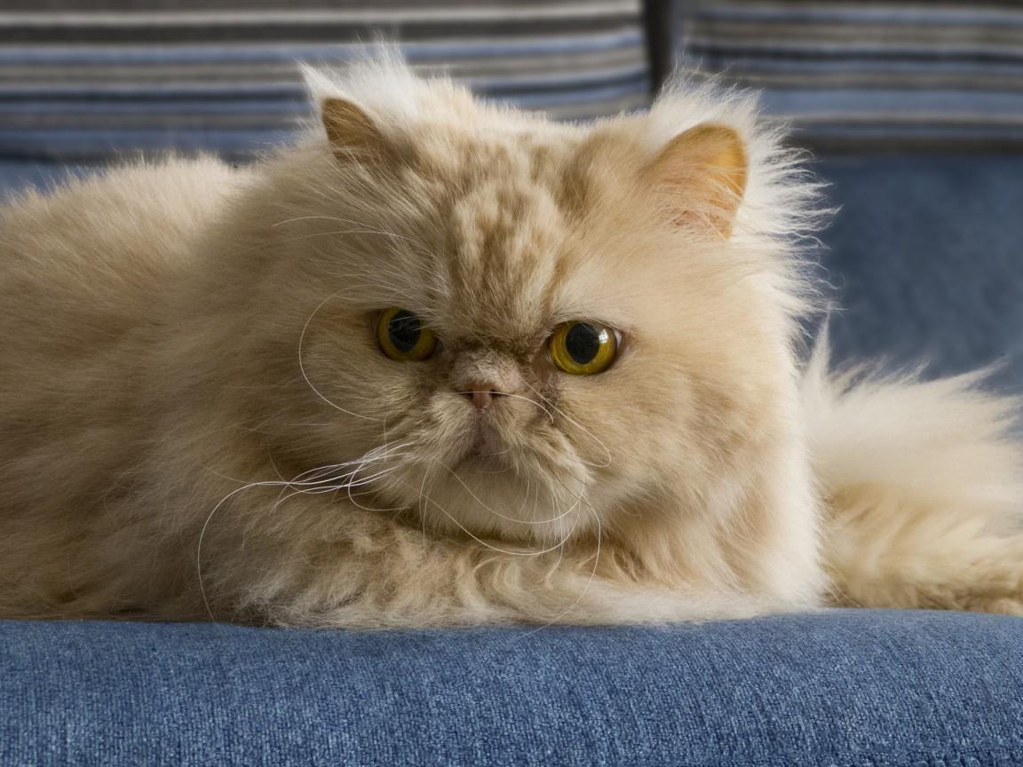 cat-makhmal-95801-1152x864