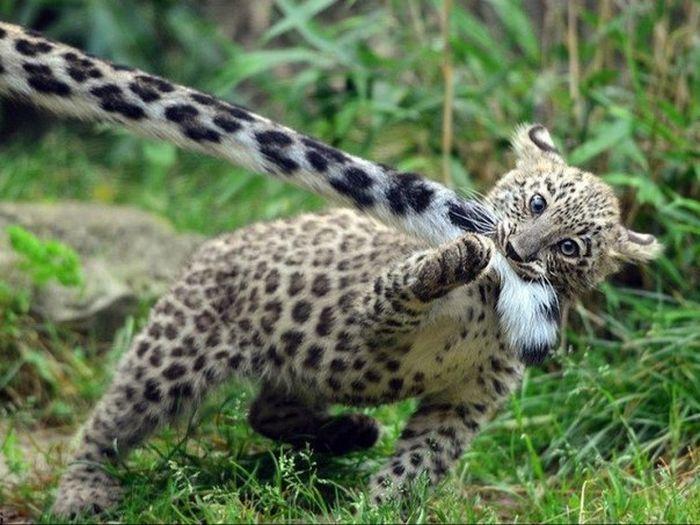"""""""Почеши меня вот здесь, и тут тоже... МУРРР..."""" Удивительно - большая кошка тоже нуждается в любви и ласке! :) рис 3"""