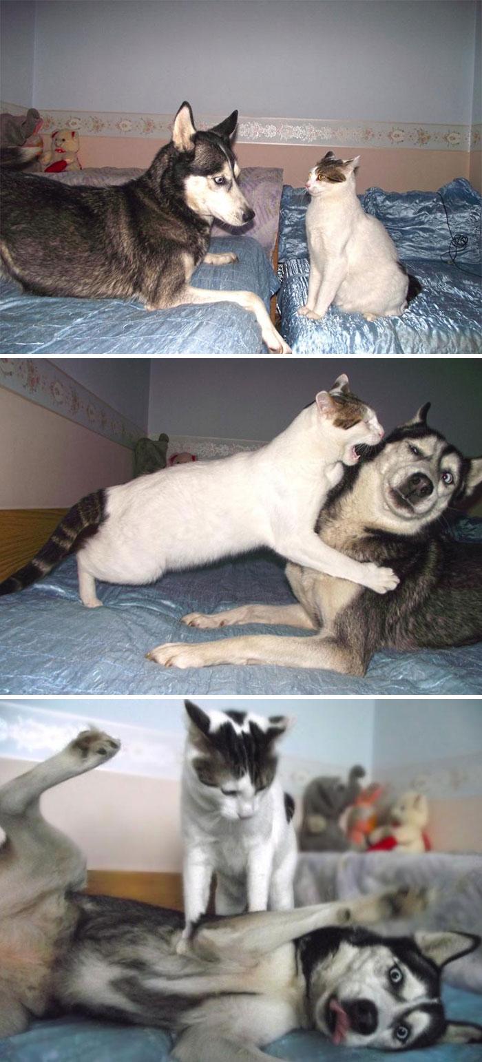 кот и хаски