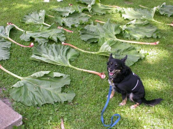 rhubarb-leaves.jpg