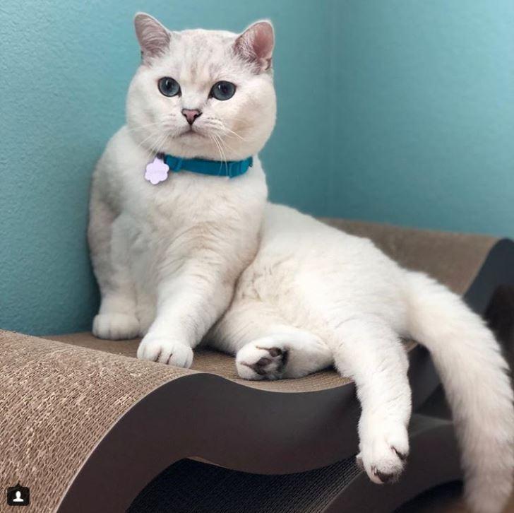 Британский белый кот по кличке Белый Кофе - 15