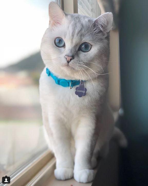 Британский белый кот по кличке Белый Кофе - 7