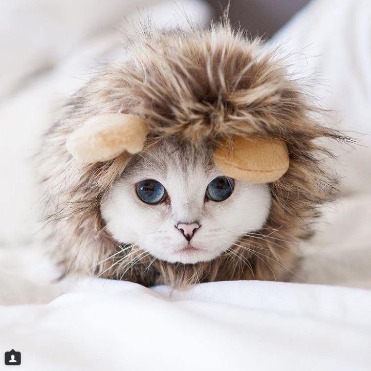 Британский белый кот по кличке Белый Кофе - 3