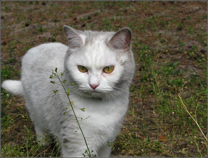 """""""Она выбрала меня - как знала..."""" Необычная история о кошке, которая прислала хозяевам... вторую себя! рис 12"""