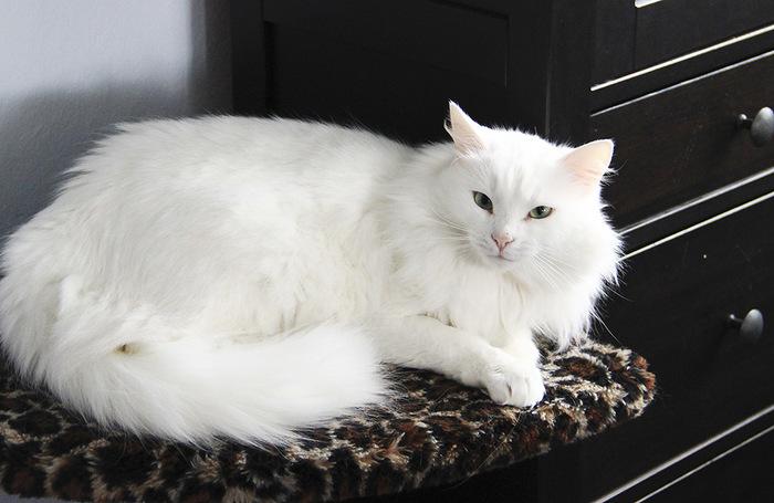 """""""Она выбрала меня - как знала..."""" Необычная история о кошке, которая прислала хозяевам... вторую себя! рис 15"""