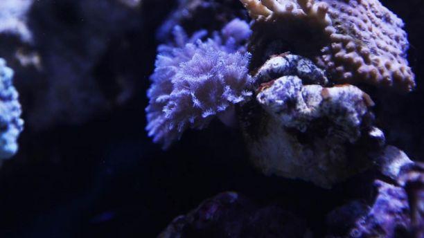 korali