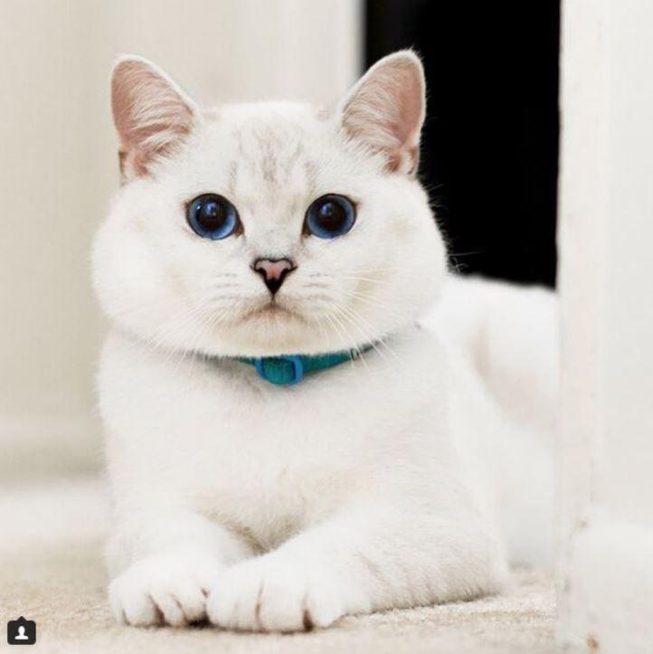 Британский белый кот по кличке Белый Кофе