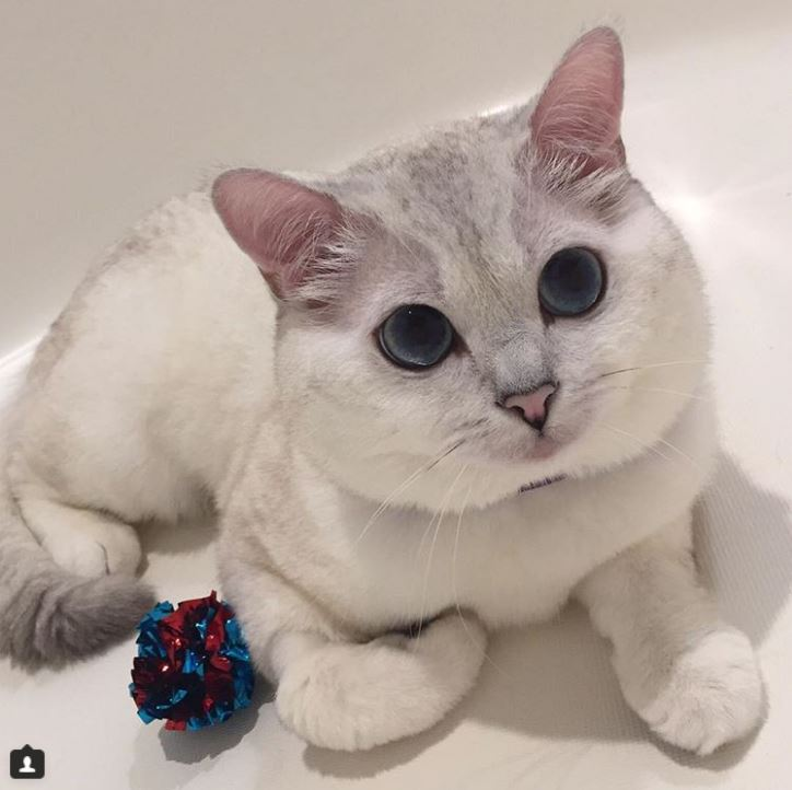 Британский белый кот по кличке Белый Кофе - 4
