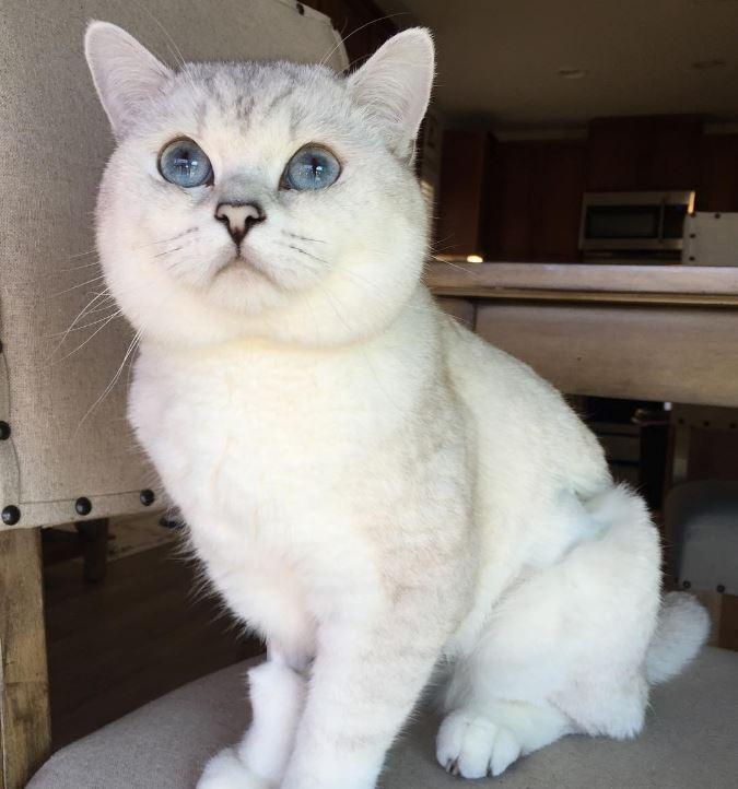 Британский белый кот по кличке Белый Кофе - 6