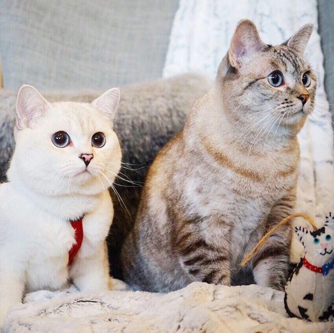 Британский белый кот по кличке Белый Кофе - 10