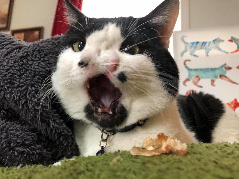 Кот с двумя носами дышит в 2 раза лучше! Мемфис передаёт привет всем, кто хотел его усыпить... рис 2