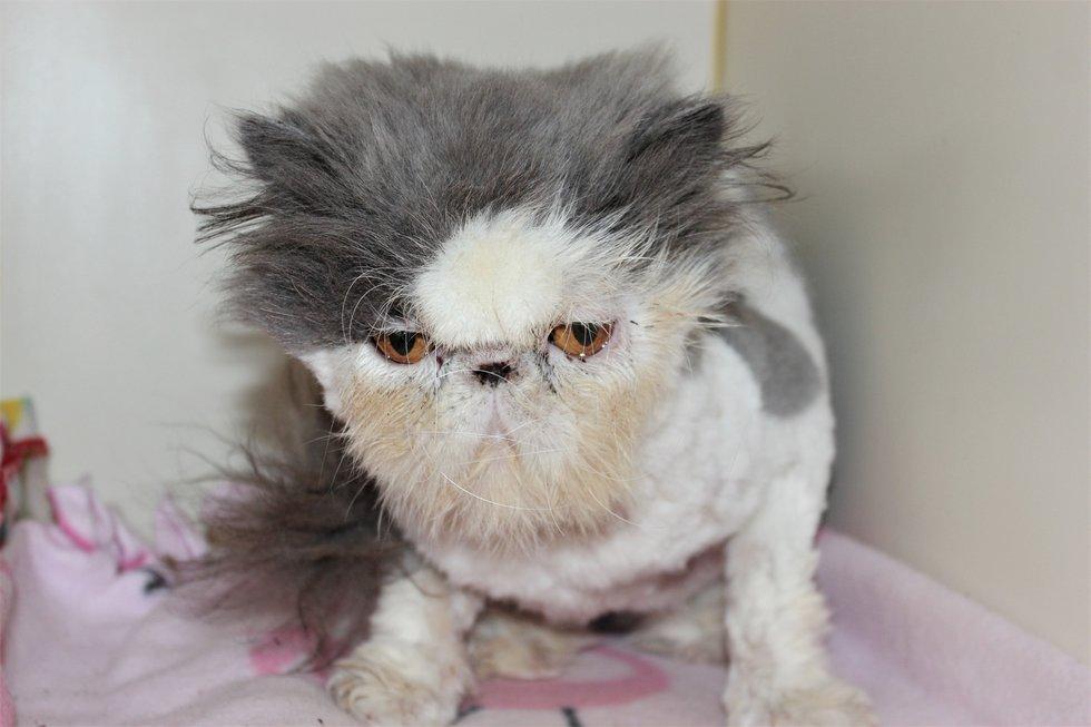 """""""У бедолаги зарос шерстью левый глаз!"""" Спасение породистого кота, которого никогда не ценили... рис 10"""