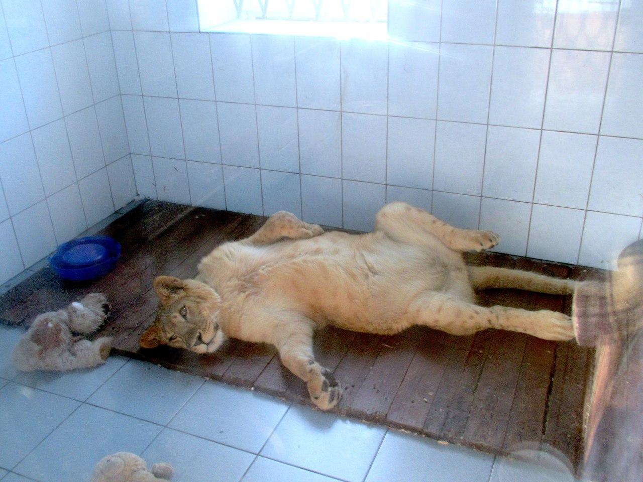 Про диких животных, которые всех удивили! Спасение ослика-сюрприза, молочного медвежонка и йога-львицы! рис 2