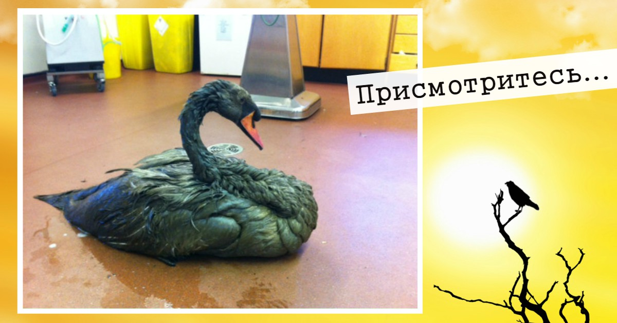 Это - не чёрный лебедь! Волонтёры тоже ошиблись, хотя у бедной птицы счёт уже шёл на минуты...