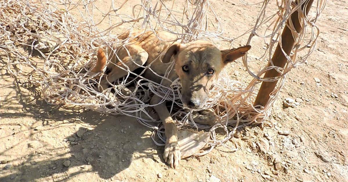 Пёс запутался в сетке... Индийская жара не щадит никого, но этот малыш - везунчик!)