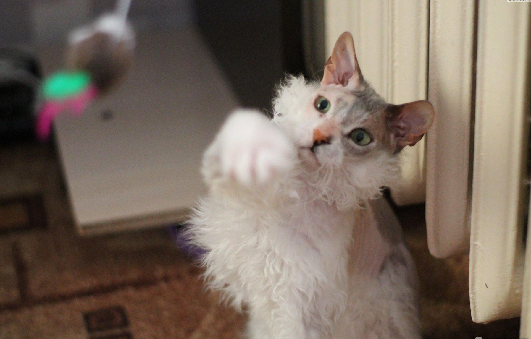 """""""Мы не знали о том, что нас ждёт!!!"""" Они случайно принесли домой дочь сфинкса и домашней кошки...) рис 12"""
