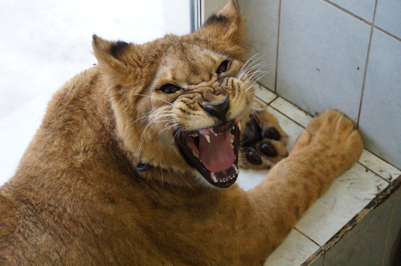 Про диких животных, которые всех удивили! Спасение ослика-сюрприза, молочного медвежонка и йога-львицы! рис 6