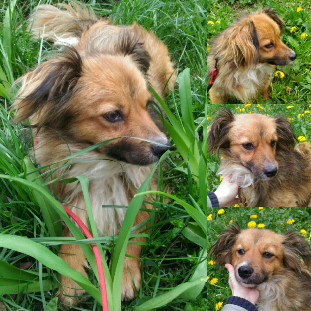Голодному псу дали сосиску, а он... отнёс её кошке! История бездомного Вайзика с ушами-бабочками рис 2