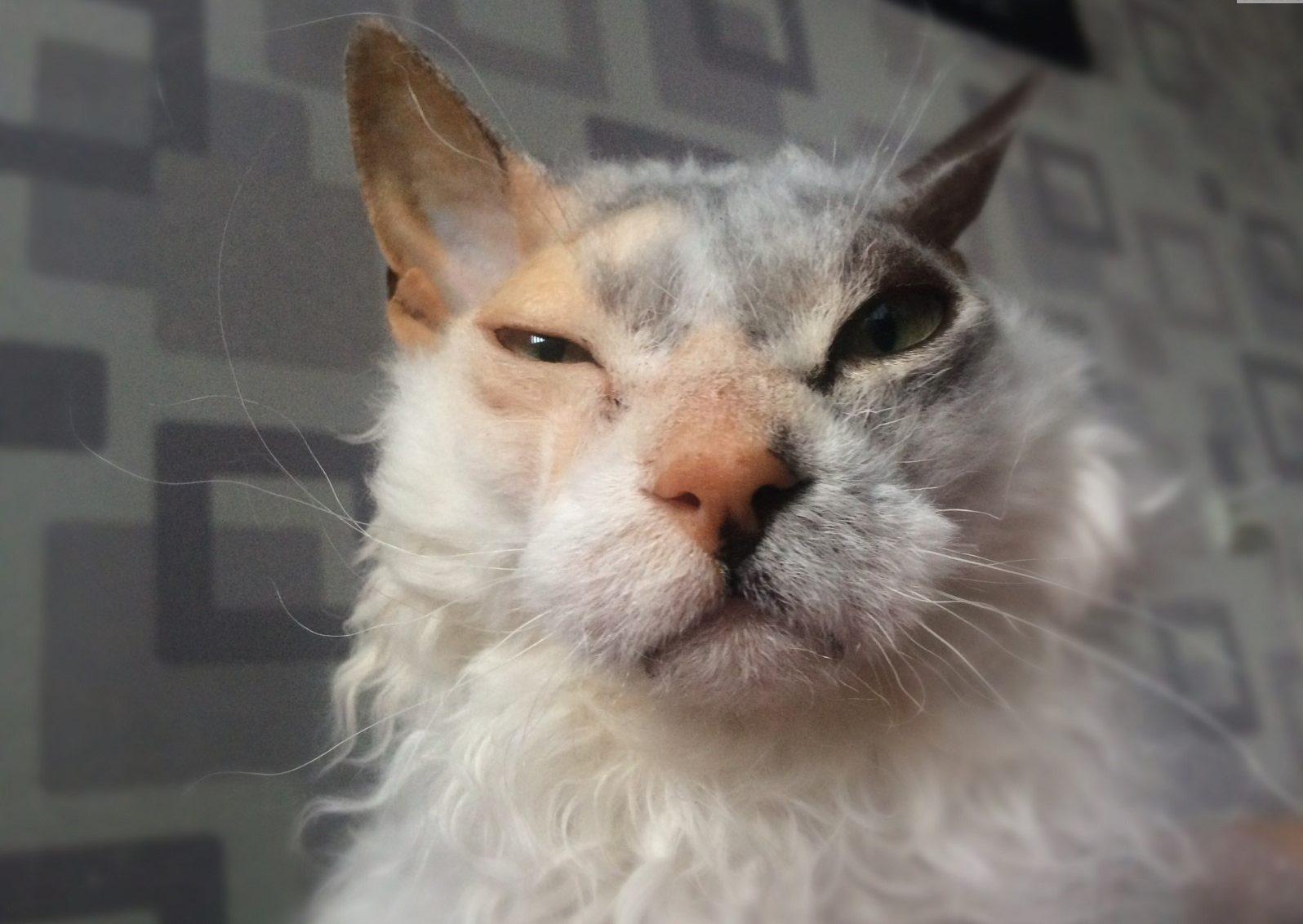 """""""Мы не знали о том, что нас ждёт!!!"""" Они случайно принесли домой дочь сфинкса и домашней кошки...) рис 11"""