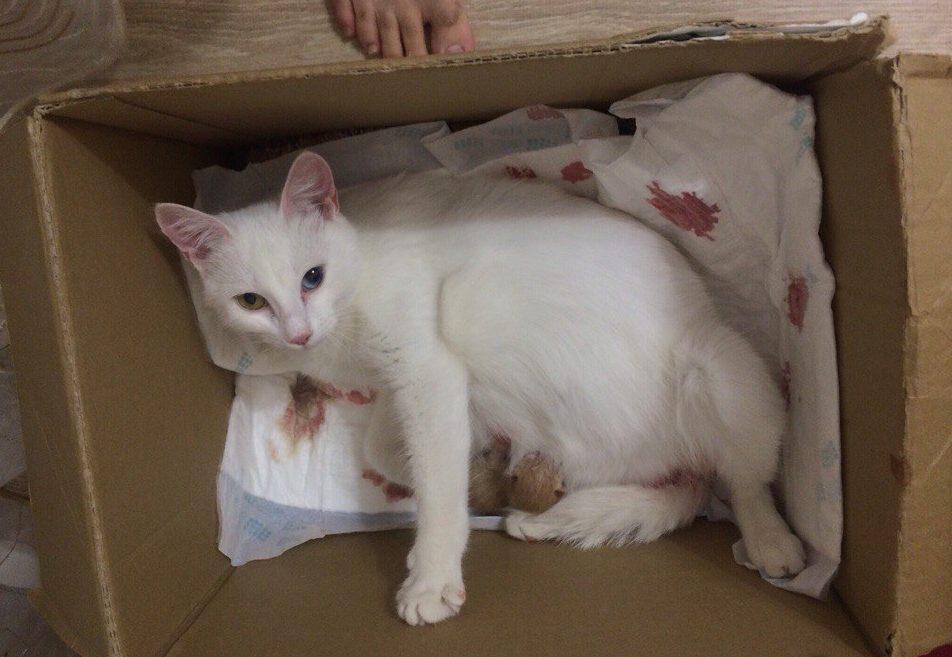 """""""Беременная глухая кошка с Авито? Рискнём!"""" Никому не нужная мать оказалась чудом) рис 3"""